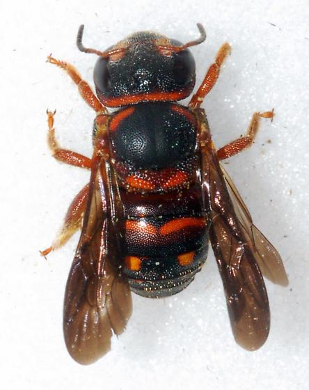 Small Bee - Anthidiellum perplexum