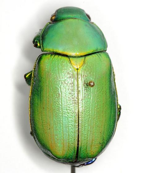 Chrysina woodii (Horn) - Chrysina woodii