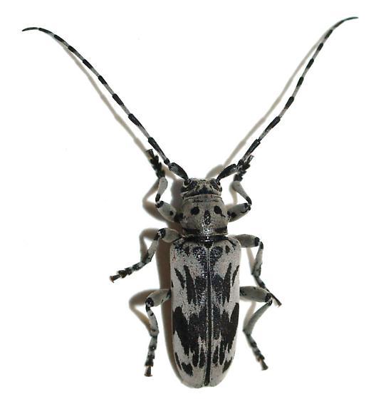 Cerambycid - Tigrinestola tigrina