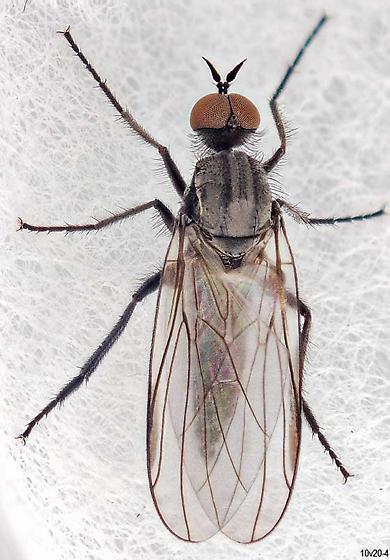 small fly - Rhamphomyia - male