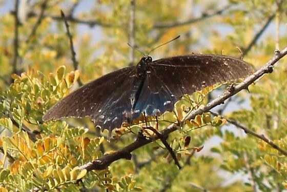Butterfly ID? - Battus philenor