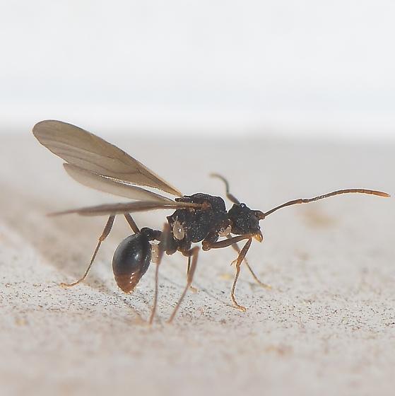 microscopic ant? - Cyphomyrmex rimosus