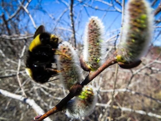 Bumble Bee - Bombus terricola