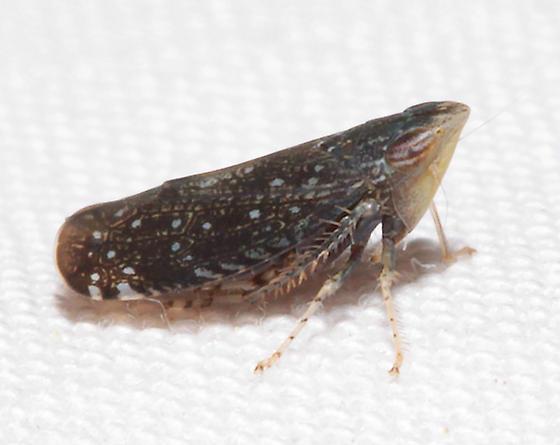 Leafhopper - Scaphytopius frontalis