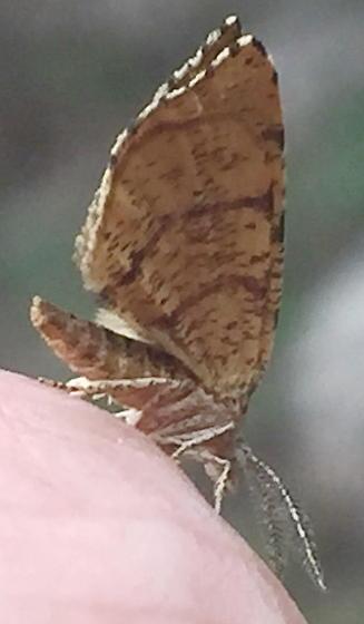Moth at Cedars of Lebanon State Park - Mellilla xanthometata