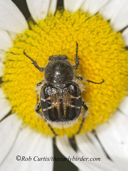 9036305 Trichiotinus - Trichiotinus assimilis