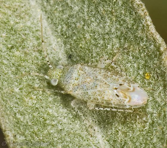 Mirid on Croton californicus - Pseudatomoscelis seriatus