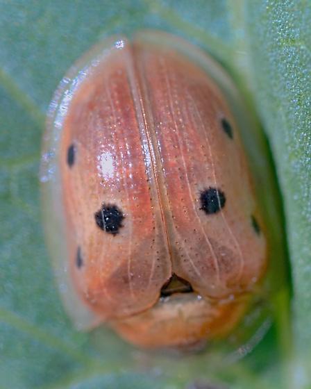 Golden Tortoise Beetle? - Jonthonota nigripes