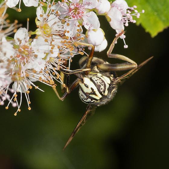 Spilomyia fusca - female