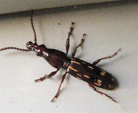 Straight-Snouted Weevil? - Arrhenodes minutus - male