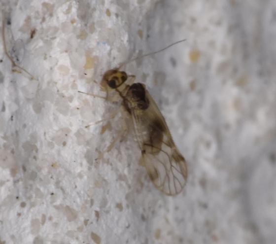 Barklouse - Pseudocaecilius citricola