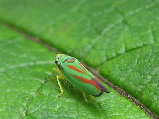 Green bug with red and blue - Graphocephala