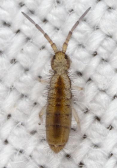 Springtail IMG_0583 - Orchesella alpa