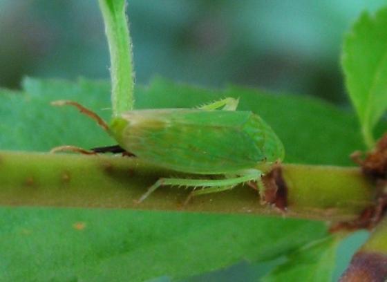Green leafhopper on shrub - Gypona - female