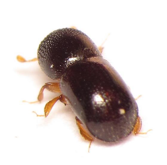 Scolytinae - Anisandrus dispar
