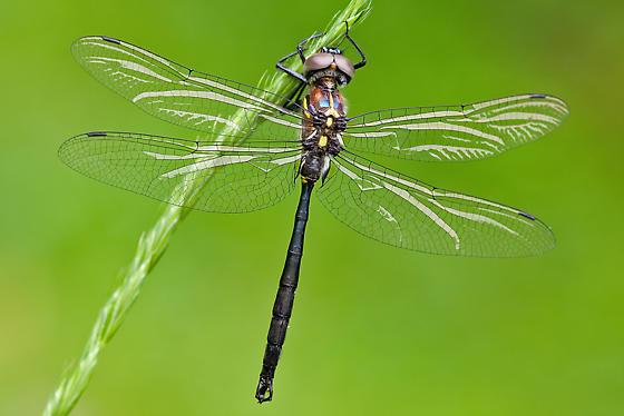 UI Dragonfly 061310-1 - Somatochlora tenebrosa