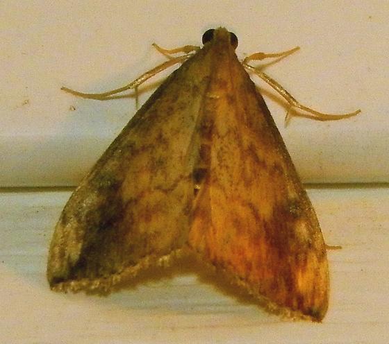 Moth 091316barb - Evergestis rimosalis