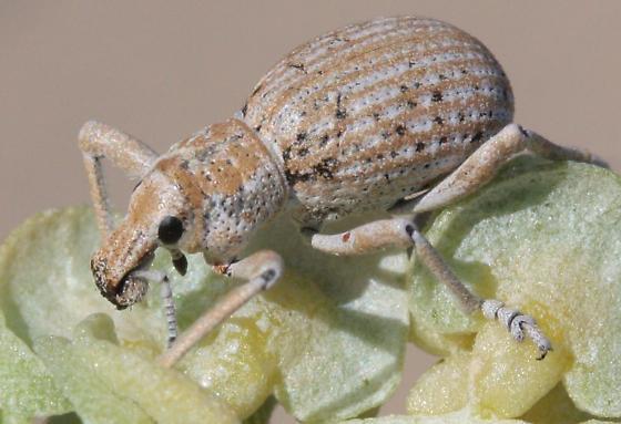 Large desert weevil - Ophryastes