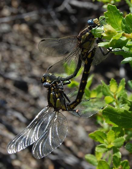 Gomphus kurilis? - Phanogomphus kurilis - male - female