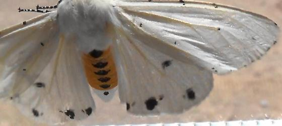 Small Dots = Salt Marsh Moth - Estigmene acrea - female