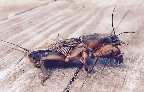 Strangest bug I've ever seen - Gryllotalpa gryllotalpa