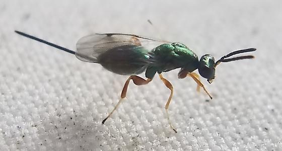 Tiny Shiny Green Wasp w/ Ovipositor - female