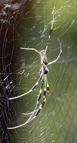 Orb weaver spider - Trichonephila clavata