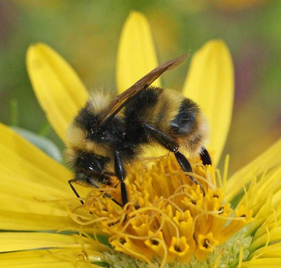 another Western Bumble Bee? - Bombus occidentalis