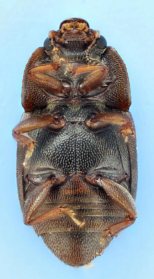 Carpophilus lugubris  - Carpophilus lugubris