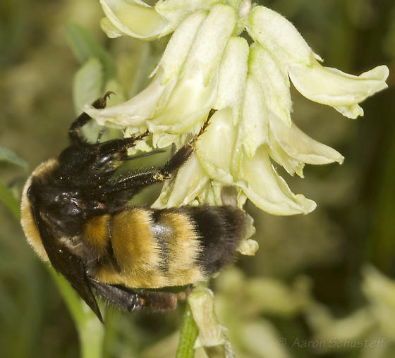 Large Bumblebees on Astragalus at Mono Lake (1) - Bombus nevadensis