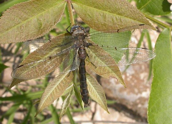 Dot-winged Baskettail - Epitheca petechialis - female