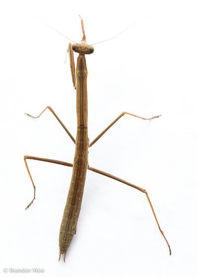 Tenodera angustipennis
