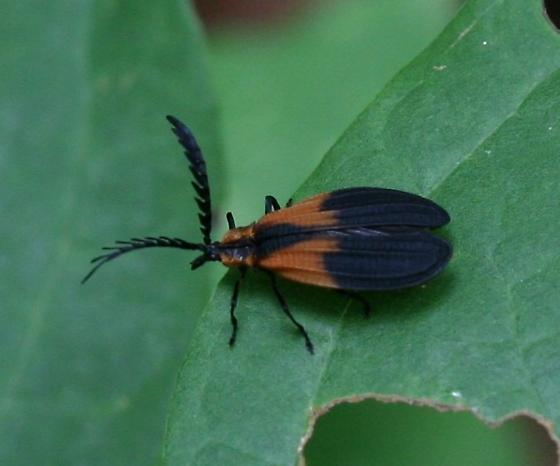Net-winged Beetle  - Caenia dimidiata