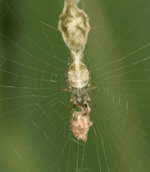 Cribellate Orb Weaver? - Allocyclosa bifurca - female
