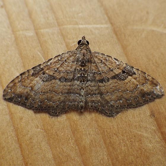 Geometridae: Orthnama obstipata - Orthonama obstipata