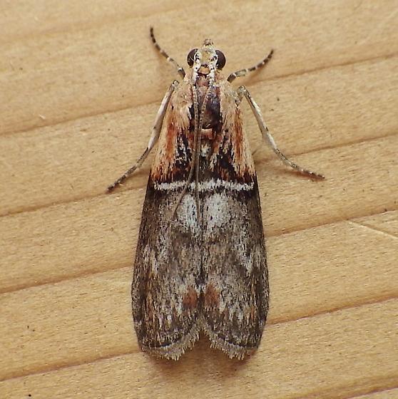 Pyralidae: Sciota basilaris - Sciota basilaris