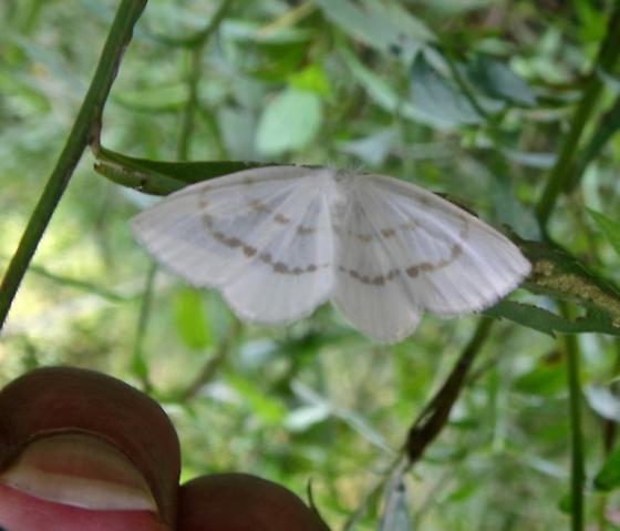 Is this Eudeilinia ? - Eudeilinia