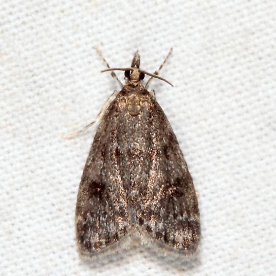 Dark-brown Scoparia - Scoparia penumbralis