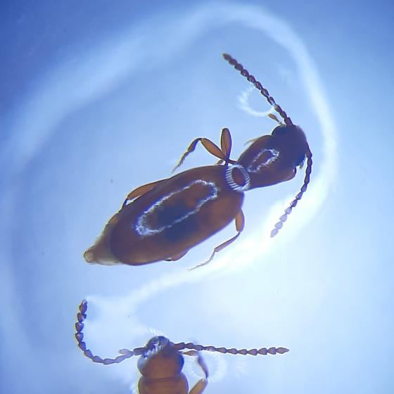 Small beetle - Cononotus