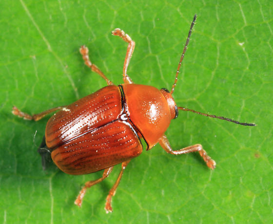 Case-bearing Leaf Beetle - Cryptocephalus venustus - female