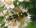 sawfly? - Tenthredo basilaris - female