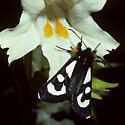 Alypia  - Alypia mariposa - female