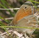 MN May - Common Ringlet - Coenonympha tullia