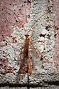 *Solved!* Enicospilus purgatus - Enicospilus purgatus - female