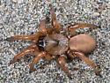 Miwok Trapdoor Spider - Aptostichus miwok - female