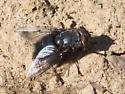 Gray-backed black fly - Calliphora - female