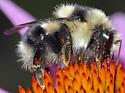 Bumble Bee - Bombus melanopygus - female