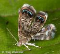 tiny moth with blue marks - Brenthia pavonacella