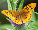 Great Spangled Fritillary...? - Speyeria cybele - male