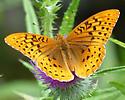 Great Spangled Fritillary...? - Speyeria cybele - male